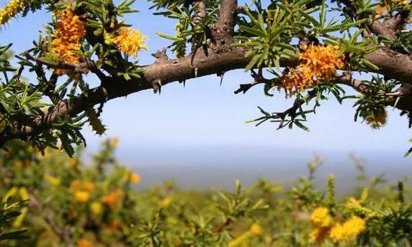 El Espino Amarillo en cosmética